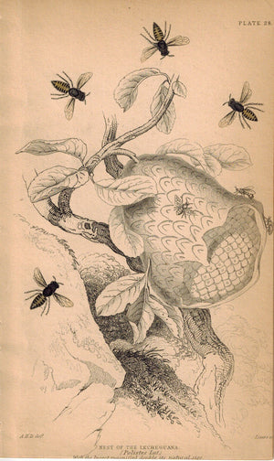 Nest of the Lecheguana Bees 1840 Original Hand Colored Engraving Print