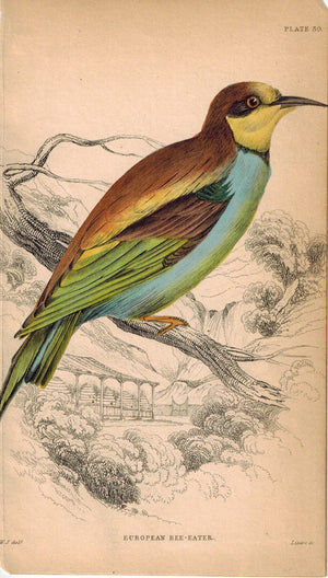 European Bee Eater 1840 Original Hand Colored Engraving Print