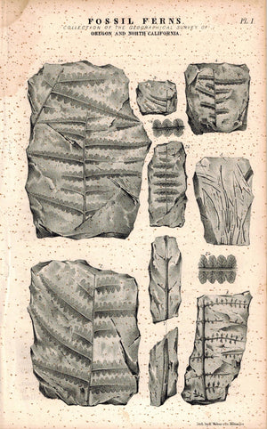 Fossil Ferns Oregon and North California 1845 Antique Litho Print by E. Weber