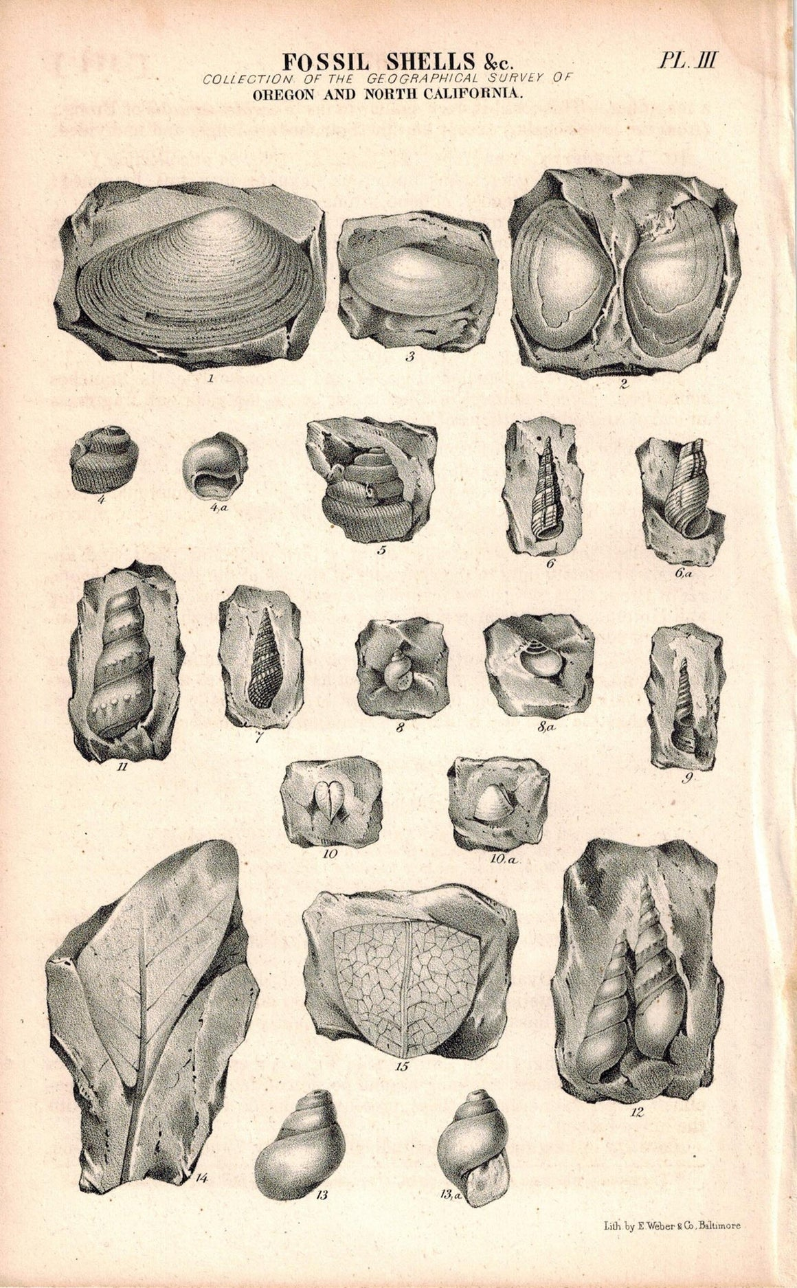 Fossil Shells Oregon and North California 1845 Antique Litho Weber Print