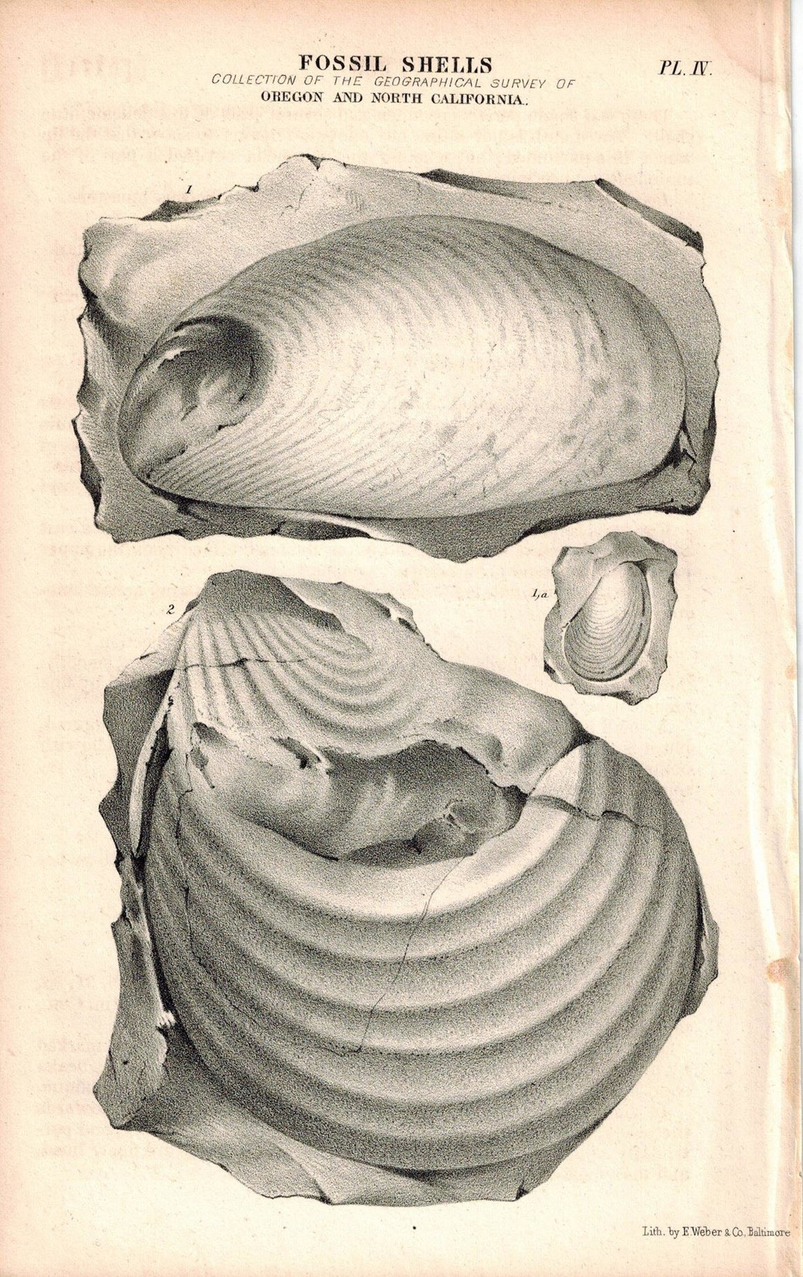 Fossil Shells Oregon and North California 1845 Antique Litho Print Weber Pl.IV