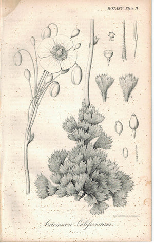 Yellow-flowered Desert Poppy Arctomecon Californica Antique Litho Print E. Weber