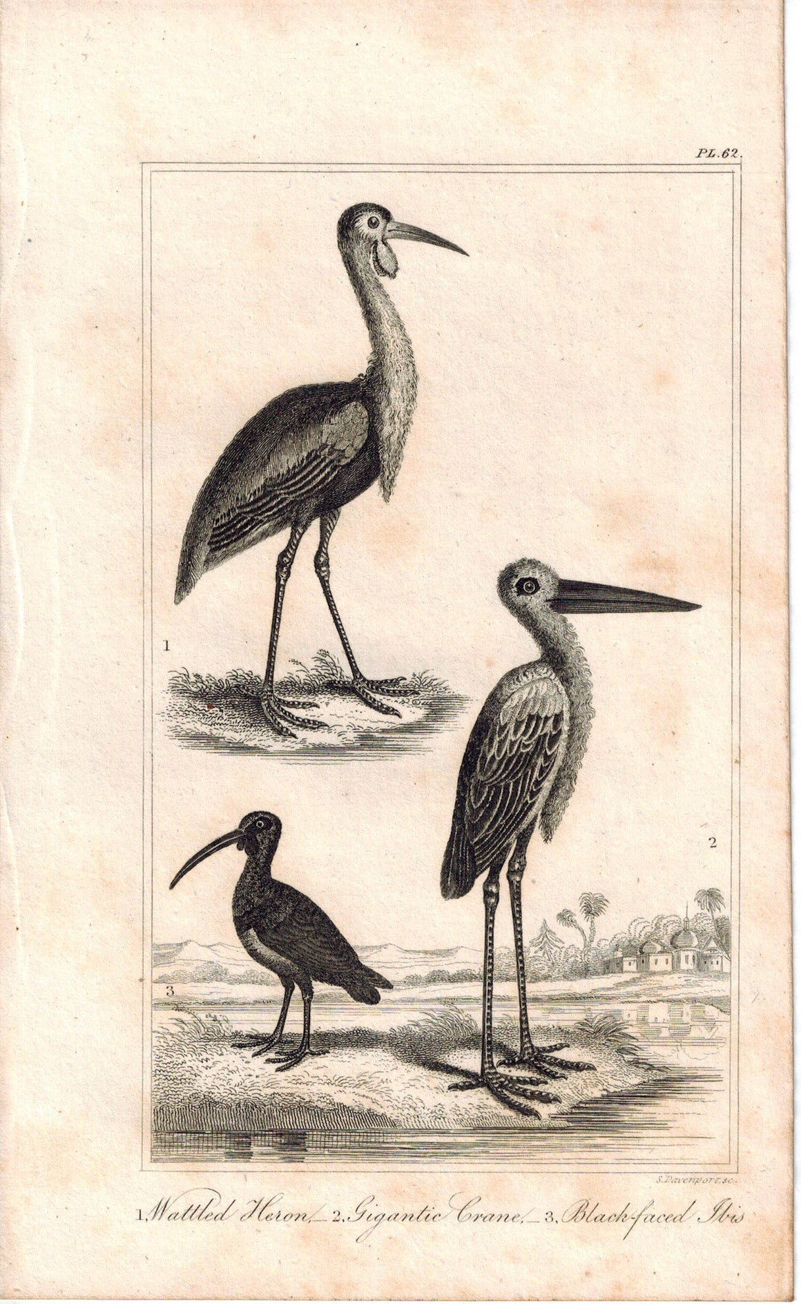 Wattled Heron, Gigantic Crane, Black-faced Ibis 1821 Antique Bird Engraved Print