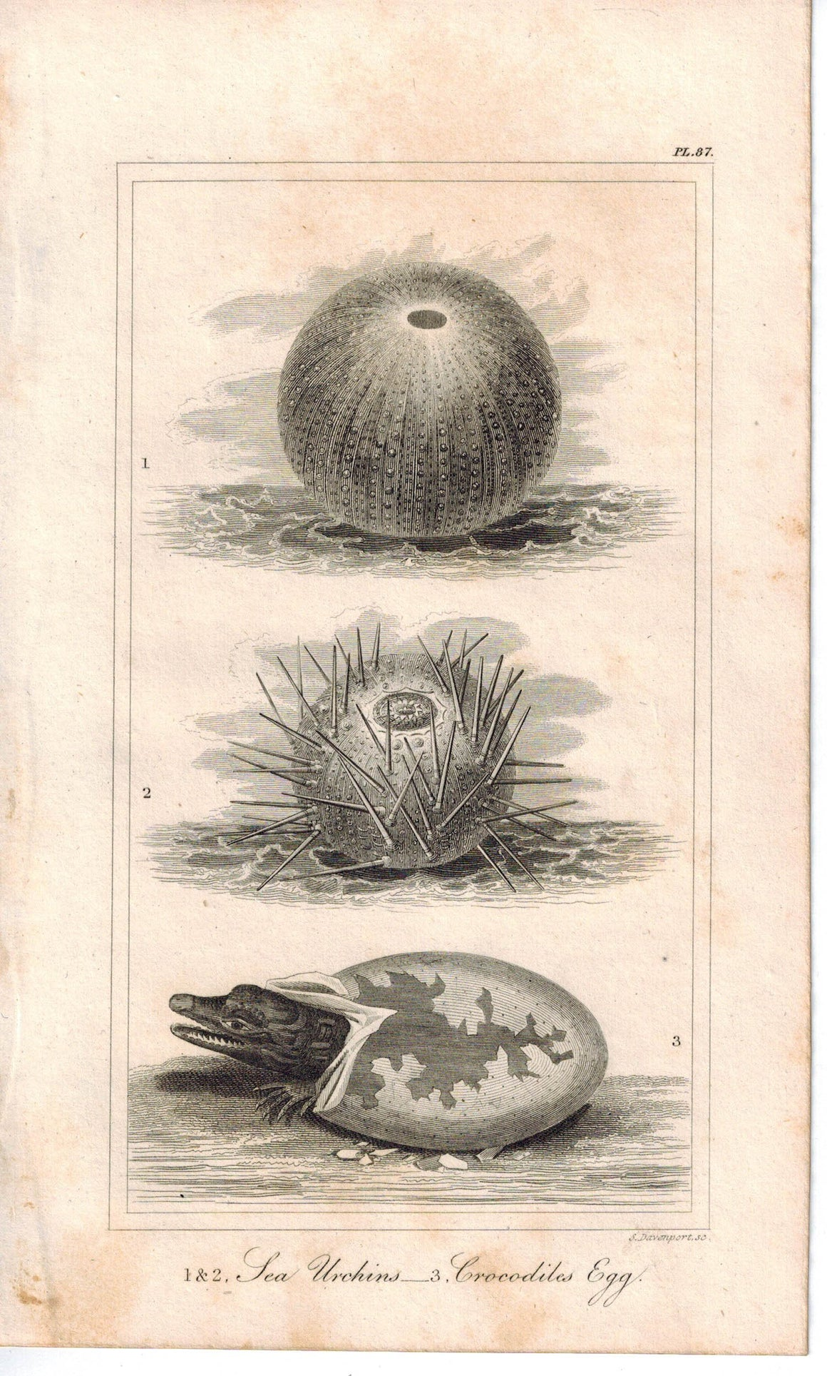 Sea Urchins Crocodiles Hatching Egg 1821 Antique Engraved Print Davenport