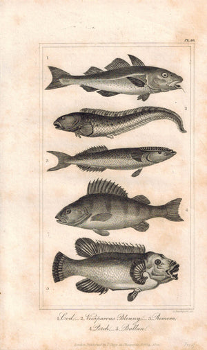 Cod Viviparous Blenny Remora Perch Ballan 1821 Antique Fish Engraved Print
