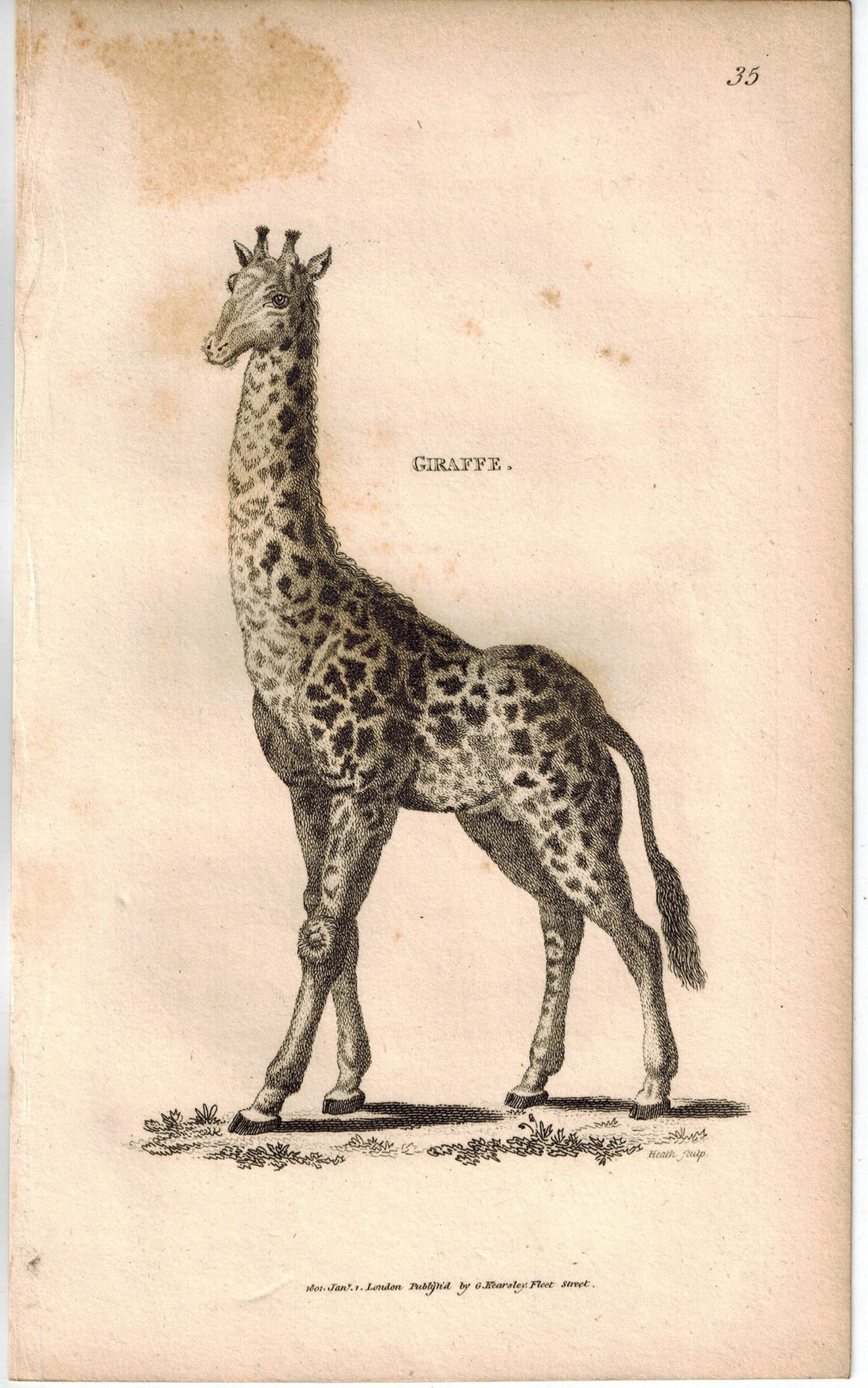 Giraffe Animal Antique Print 1809 George Shaw Original Engraving