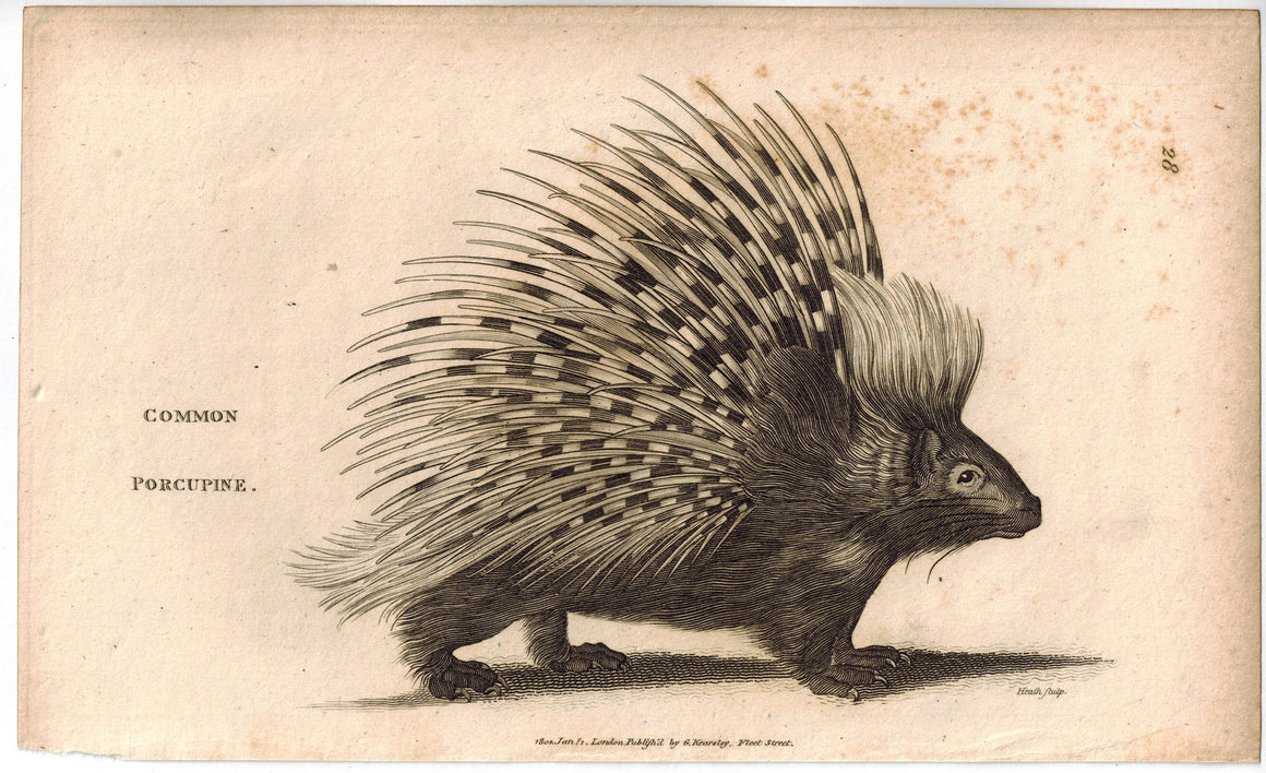 Common Porcupine Animal Antique Print 1809 Original Engraving