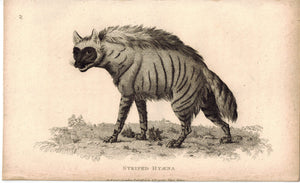 Striped Hyaena (Hyena) Antique Print 1809 George Shaw Original Engraving