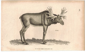 Elk Moose Antique Print 1809 George Shaw Original Engraving