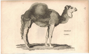 Arabian Camel Antique Print 1809 George Shaw Original Engraving