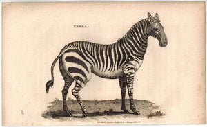 Zebra Antique Print 1809 George Shaw Original Engraving