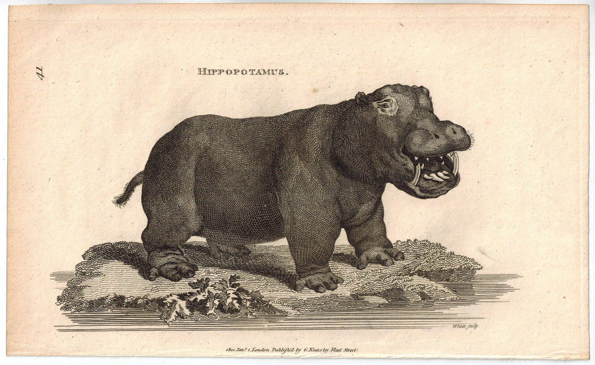 Hippopotamus Antique Print 1809 George Shaw Original Engraving