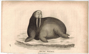 Arctic Walrus Antique Print 1809 George Shaw Original Engraving
