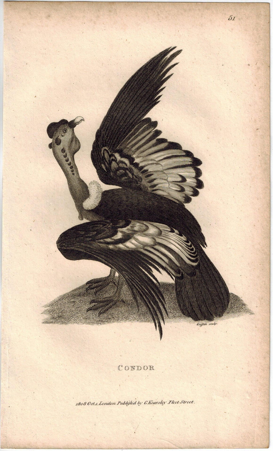 Condor Antique Print 1809 George Shaw Original Engraving