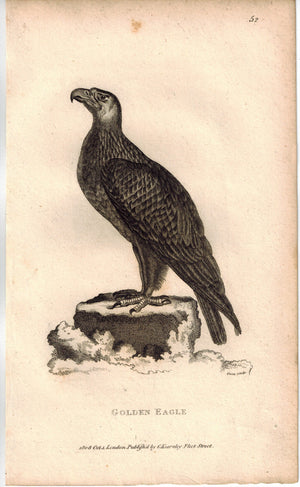 Golden Eagle Print 1809 George Shaw Original Engraving