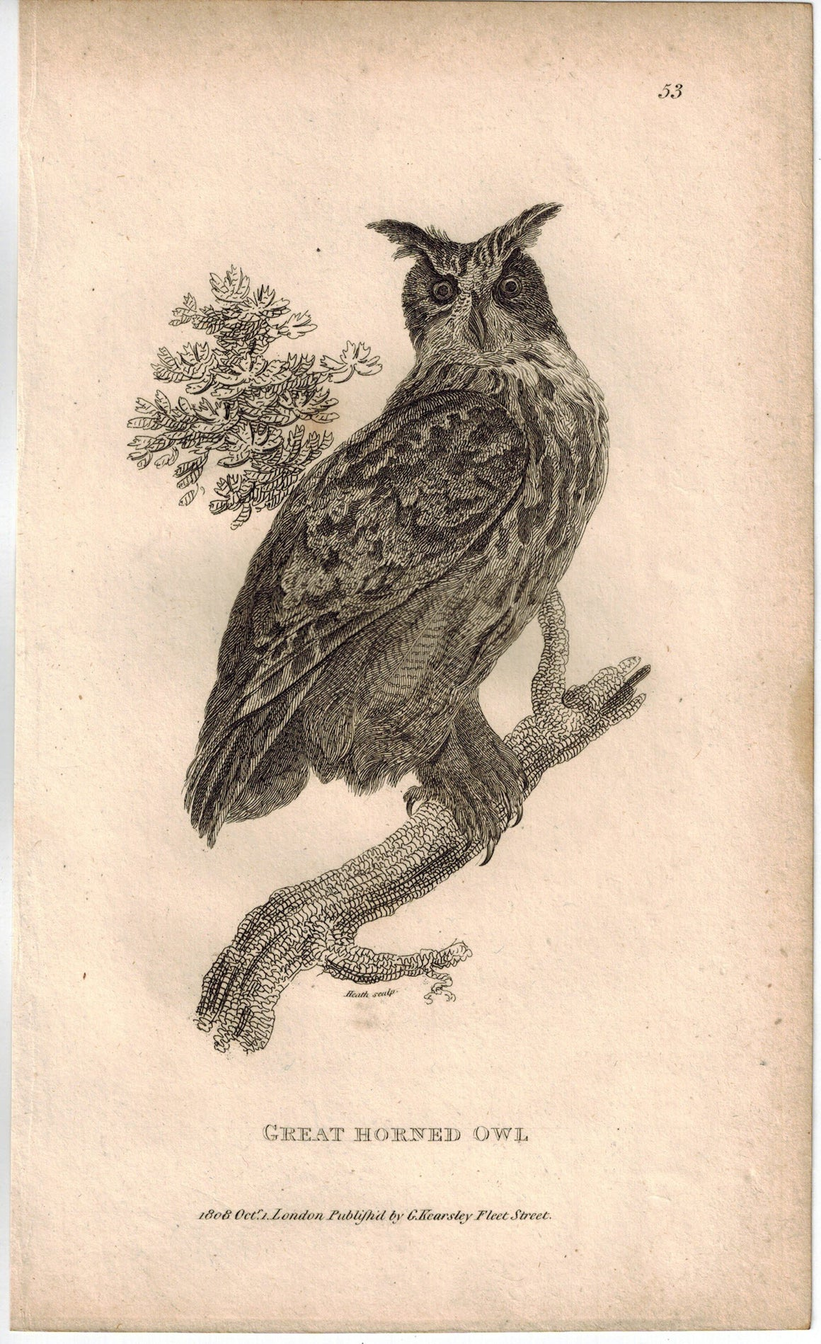 Great Horned Owl Print 1809 George Shaw Original Engraving