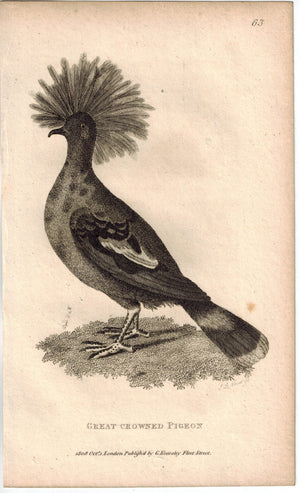 Great Crowed Pigeon Print 1809 George Shaw Original Engraving