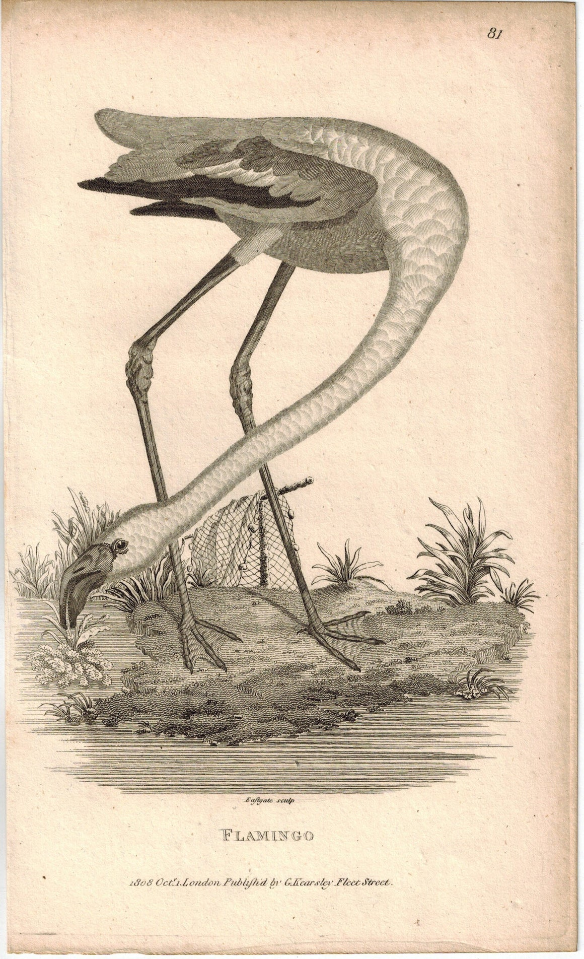 Flamingo Print 1809 George Shaw Original Engraving