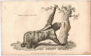 Three Toed Sloth Print 1809 George Shaw Original Engraving