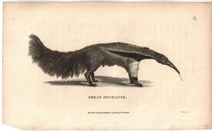 Great Ant-Eater (Anteater) Print 1809 George Shaw Original Engraving
