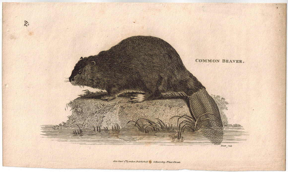 Common Beaver Print 1809 George Shaw Original Engraving