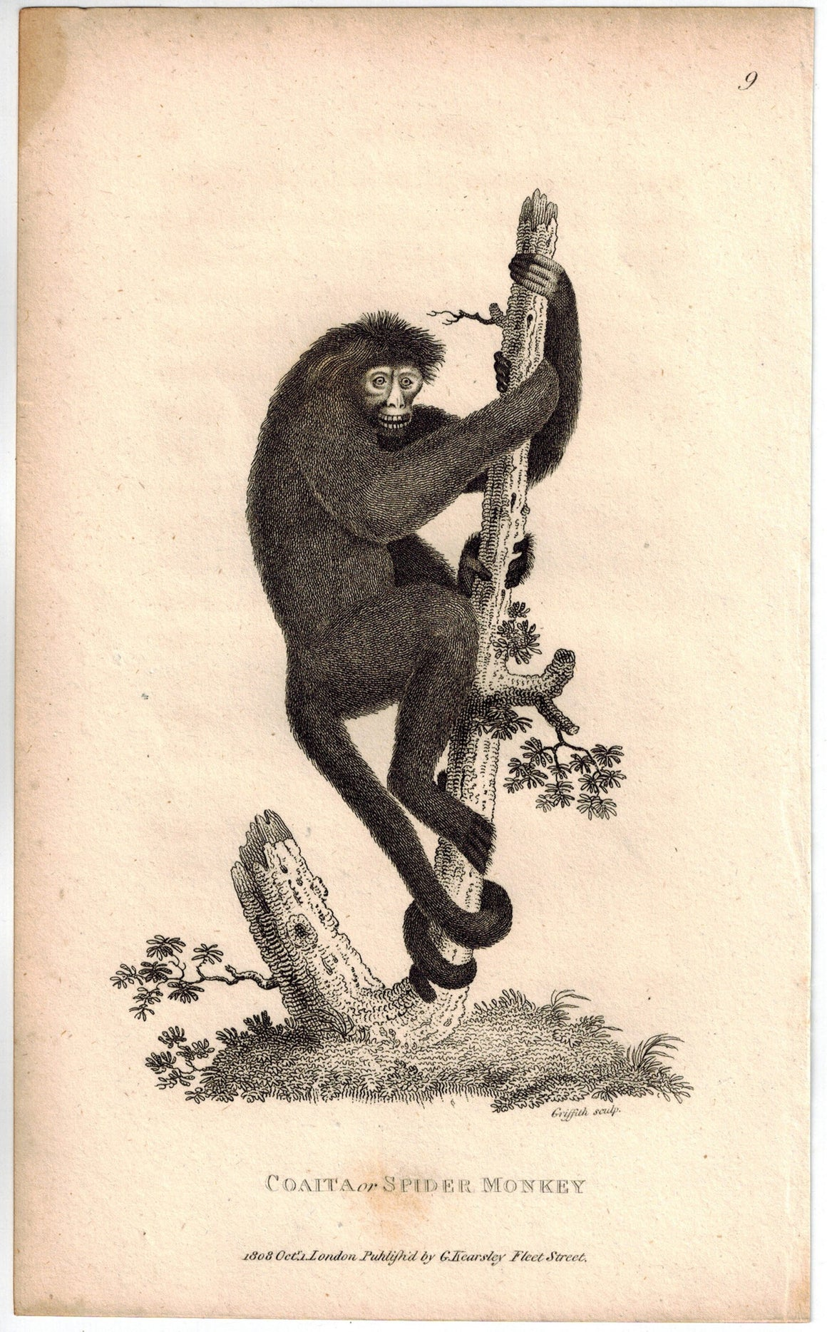 Coaita or Spider Monkey Print 1809 George Shaw Original Engraving