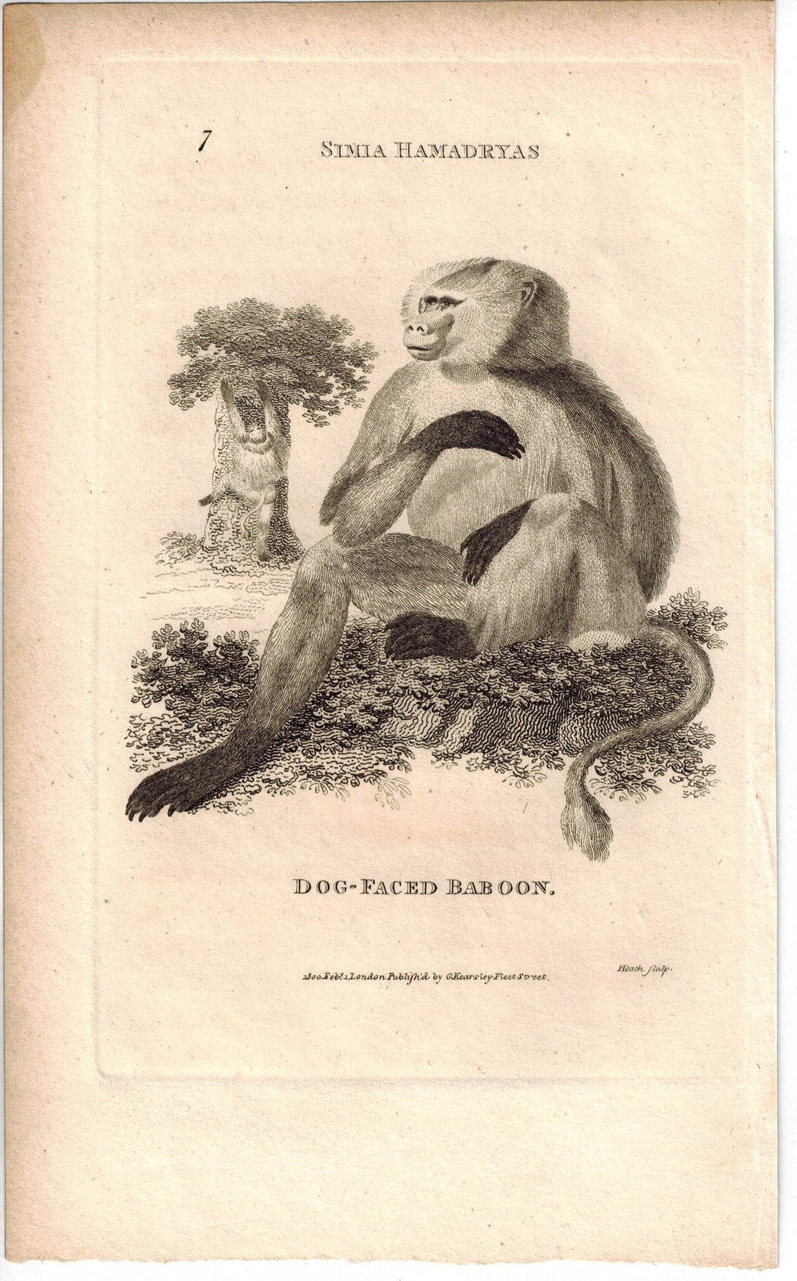 Dog-Faced Baboon Print 1809 George Shaw Original Engraving