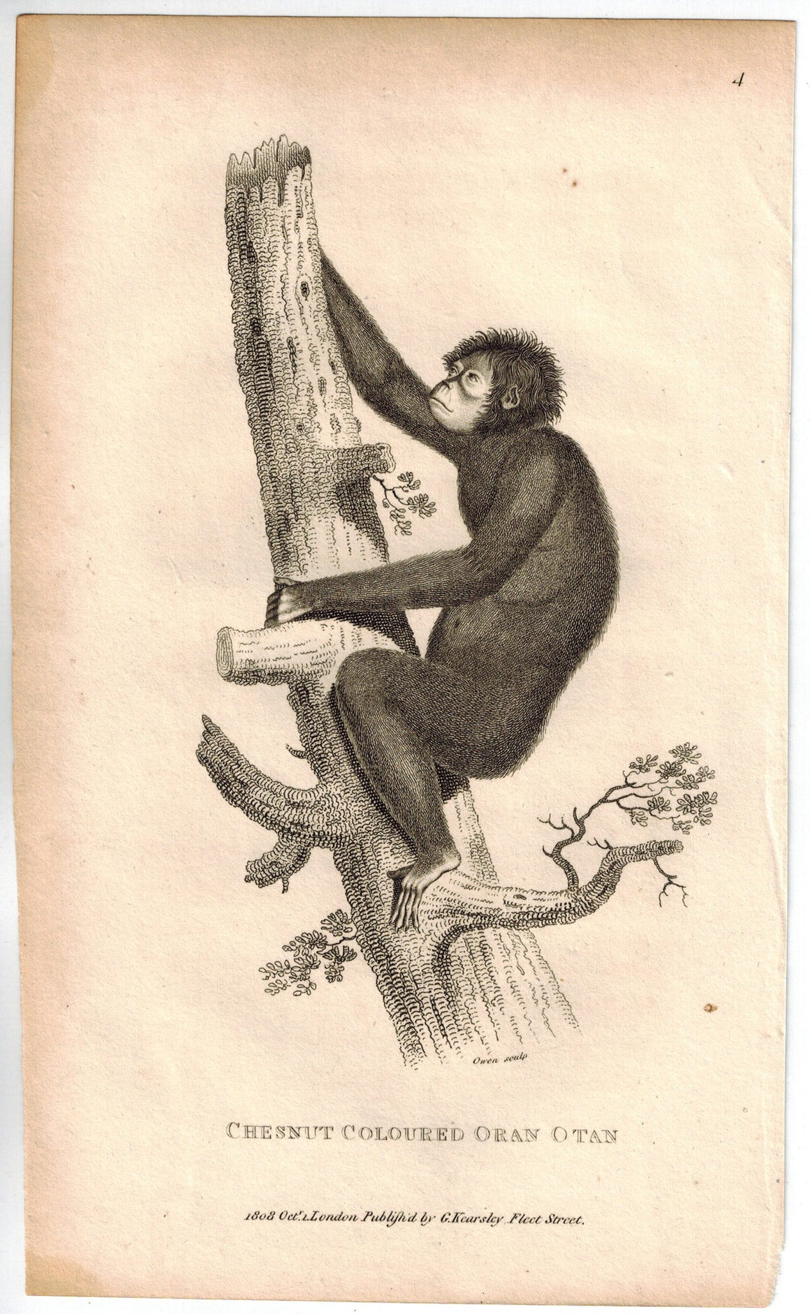 Chestnut Coloured Oran Otan (Orangutan) Print 1809 Original Engraving