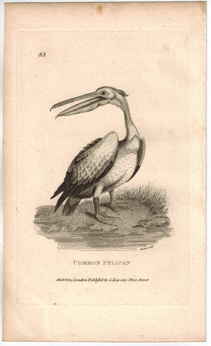 Common Pelican Print 1809 George Shaw Original Engraving