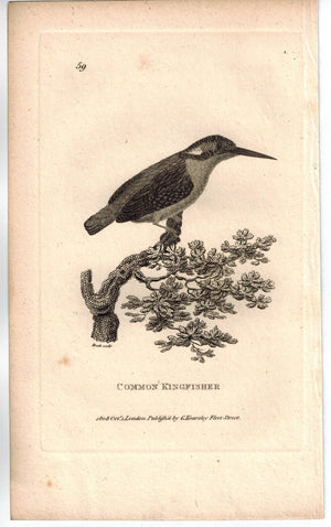 Common Kingfisher Bird Print 1809 George Shaw Original Engraving