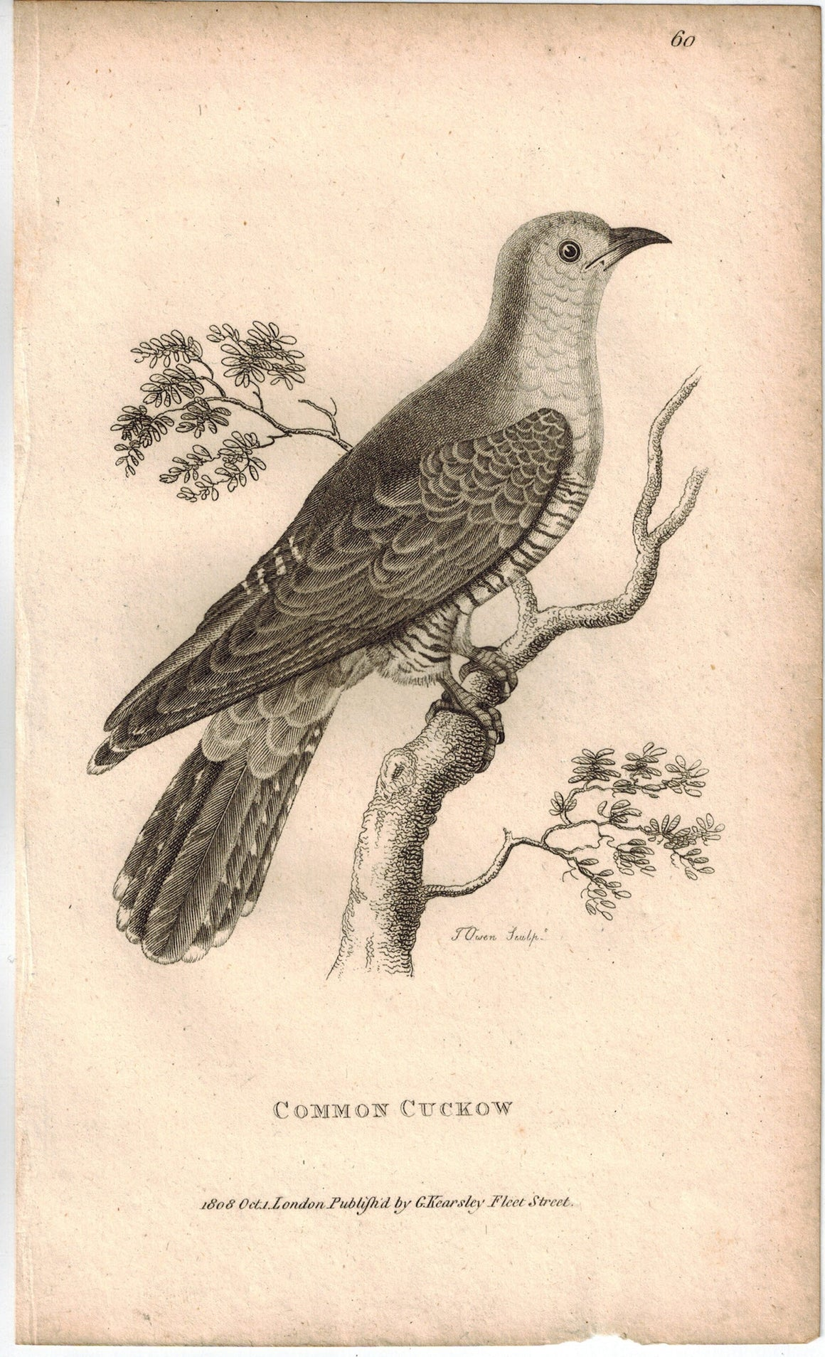 Common Cuckow Bird Print 1809 George Shaw Original Engraving