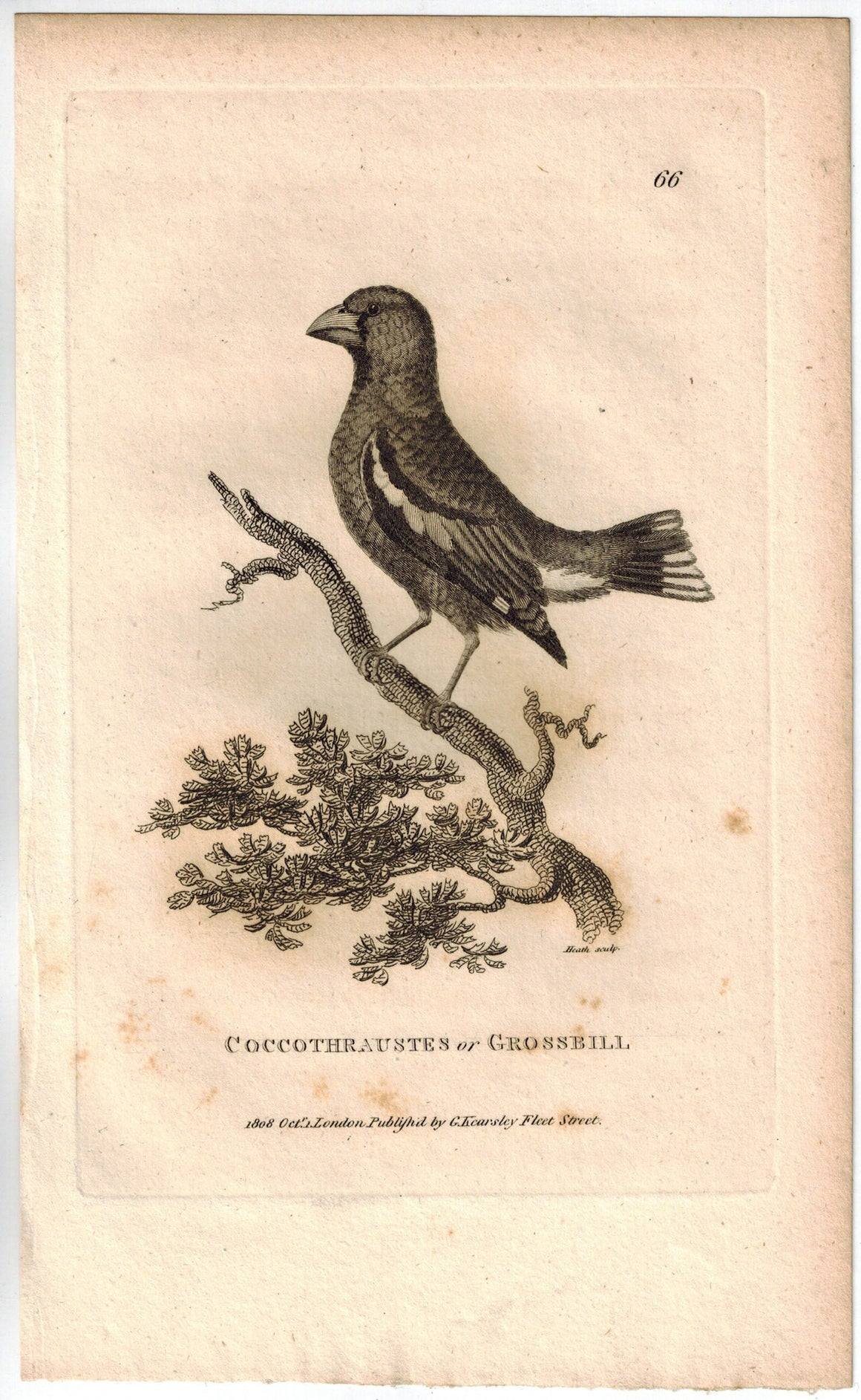 Coccothraustes or Crossbill Bird Print 1809 George Shaw Original Engraving