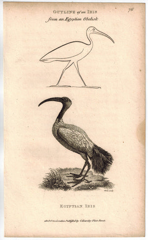 Egyptian Ibis Bird Print 1809 George Shaw Original Engraving