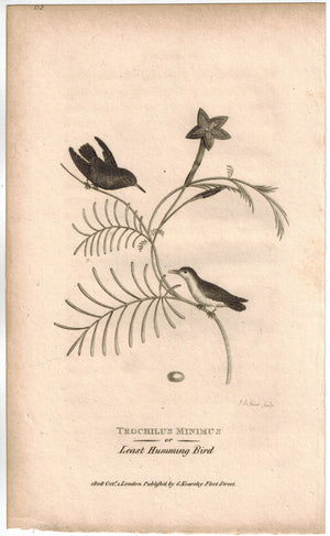Trochilus Minimus or Least Humming Bird Print 1809 G. Shaw Original Engraving