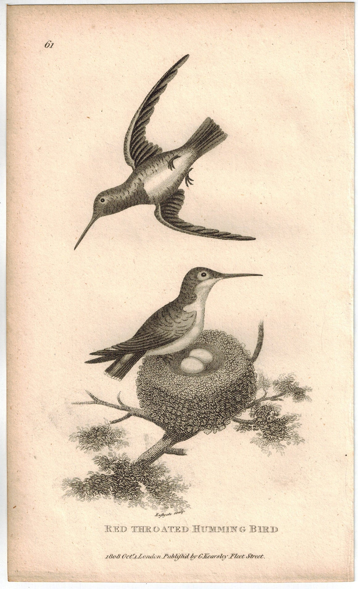 Red Throated Humming Bird Print 1809 George Shaw Original Engraving