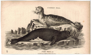 Pied Seal Print 1809 George Shaw Original Engraving