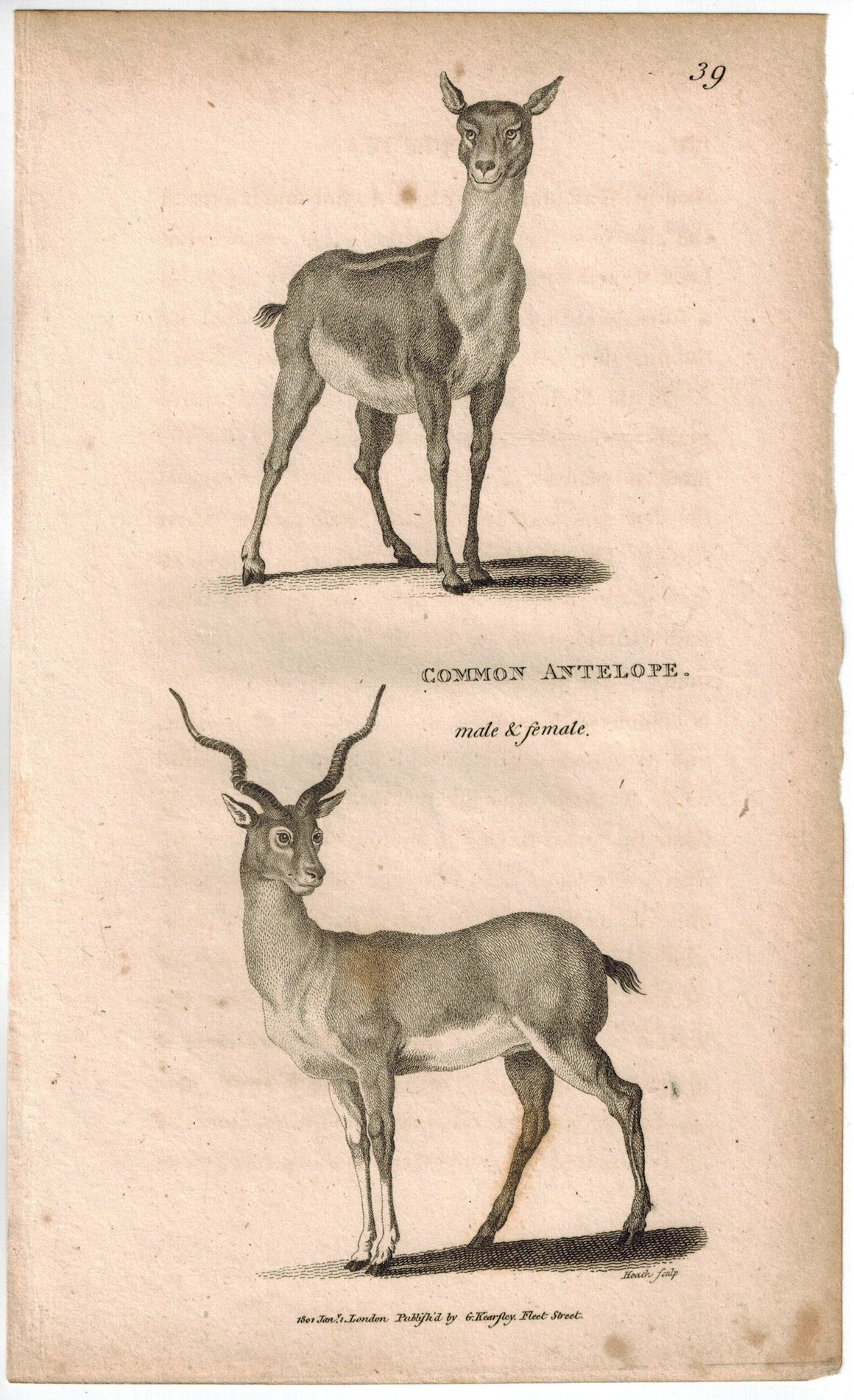 Common Antelope Print 1809 George Shaw Original Engraving