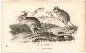 Common Jerboa Print 1809 George Shaw Original Engraving