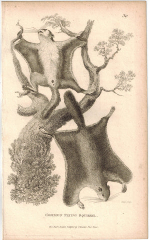 Common Flying Squirrel Print 1809 George Shaw Original Engraving