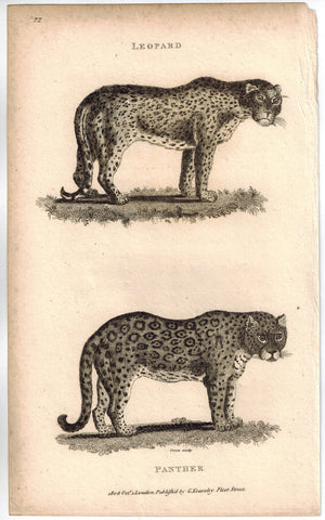 Leopard & Panther Print 1809 George Shaw Original Engraving