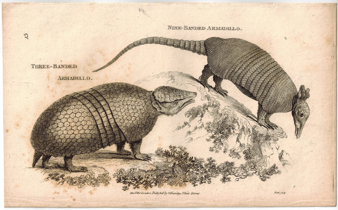 Armadillo Print 1809 George Shaw Original Engraving