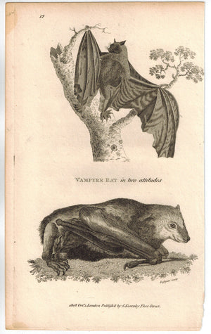 Vampyre Bat in two attitudes Print 1809 George Shaw Original Engraving