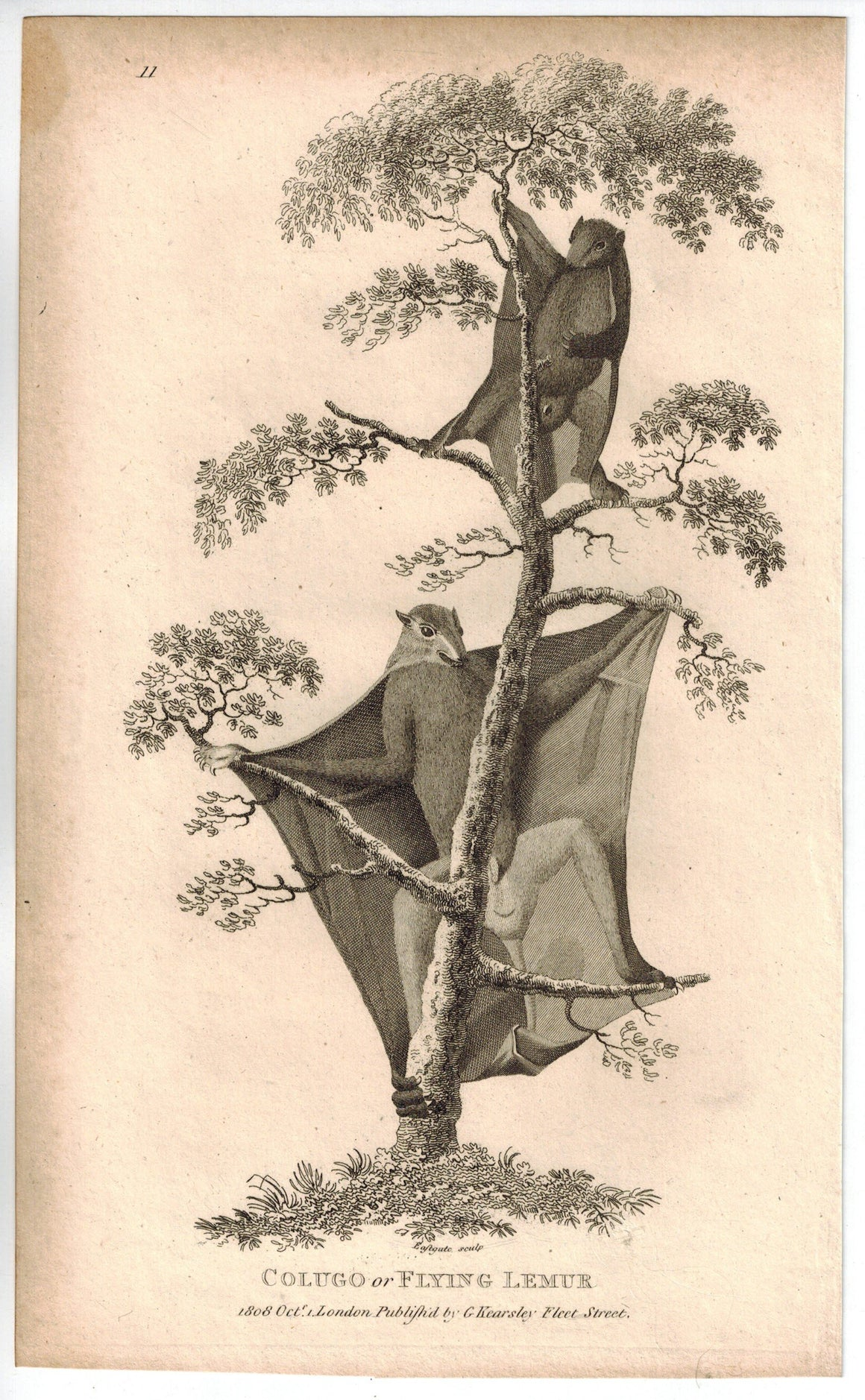 Colugo or Flying Lemur Print 1809 George Shaw Original Engraving