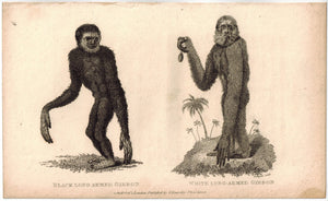 Gibbon Print 1809 George Shaw Original Engraving