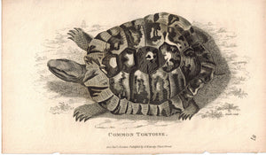 Common Tortoise 1809 Original Antique Engraving Print by Shaw & Griffith