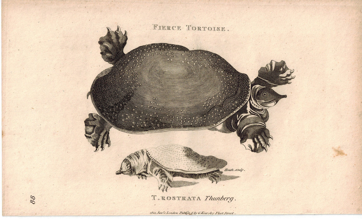 T. Rostrata Softshell Turtle 1809 Original Antique Print by Shaw & Griffith