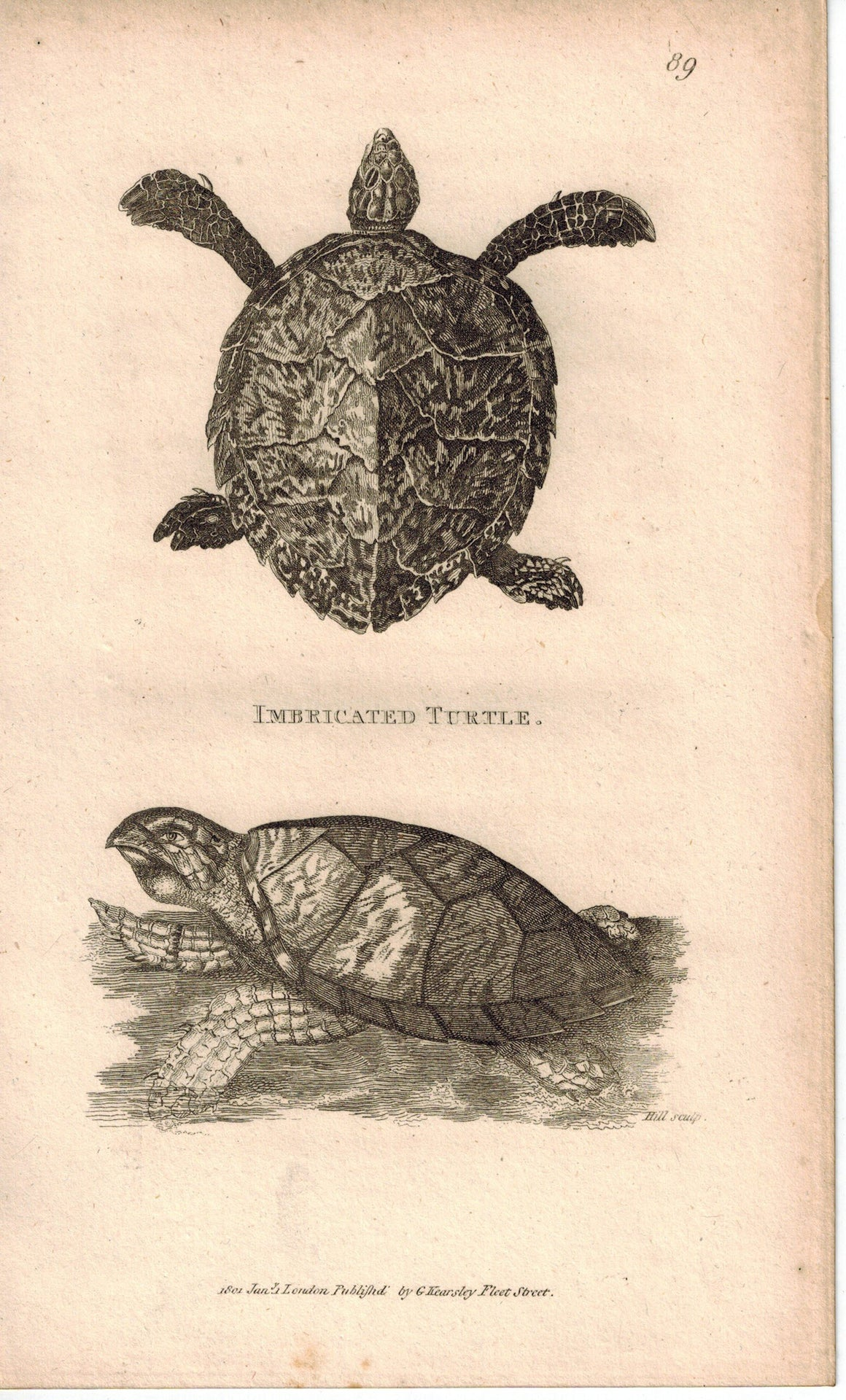 Imbricated Turtle 1809 Original Antique Engraving Print by Shaw & Griffith