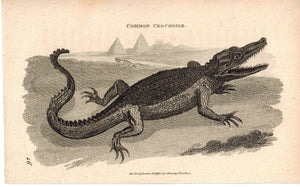 Common Crocodile 1809 Original Antique Engraving Print by Shaw & Griffith