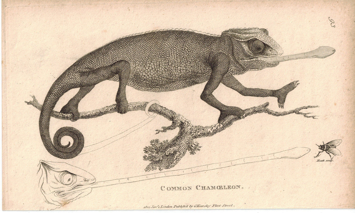 Common Chameleon 1809 Original Antique Engraving Print by Shaw & Griffith
