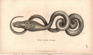 Spectacle Snake 1809 Original Antique Engraving Print by Shaw & Griffith